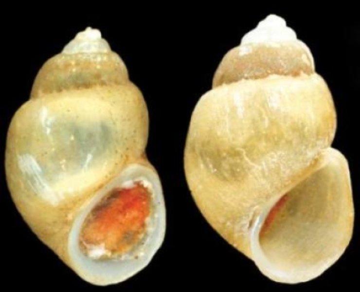Tekst u Science Daily o  novoj vrsti puža iz Skadarskog jezera